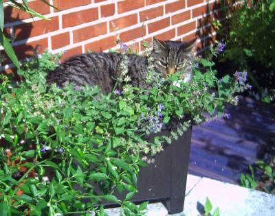 Katzenminze - Katzenklo im garten was tun ...